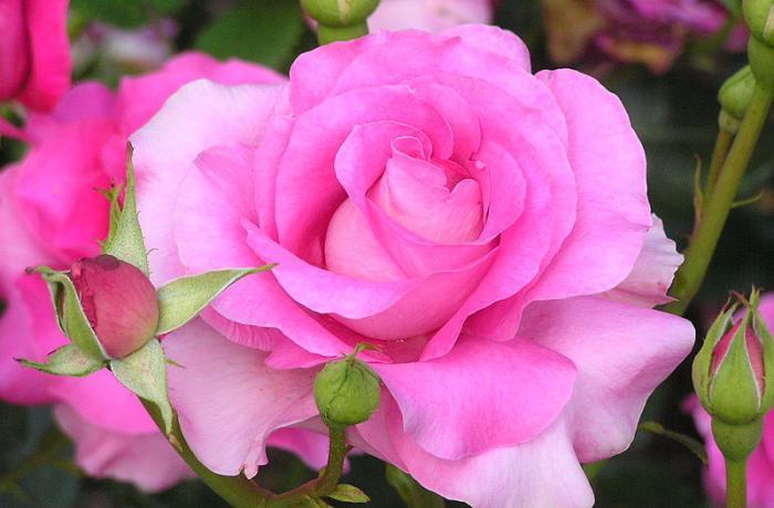 Розы французской селекции meilland каталог