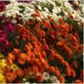 Октябрь, хризантемы