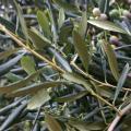 Серебристо-зеленые листья олив выглядят изысканно и элегантно