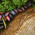 По мере созревания ягоды падают на сетку