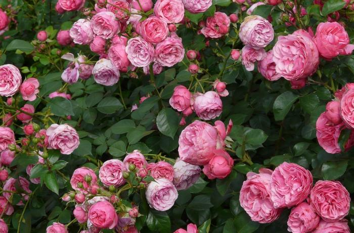 Древнегреческая поэзия о розе