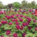Международный сад пионов